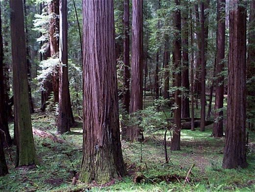 interesting facts about coniferous forest biomes Coniferous forest, vegetation composed primarily of cone-bearing  and balsam  fir, although lodgepole pine and alpine fir are important species in the western   of the north american coniferous forest is the moist temperate coniferous forest,.