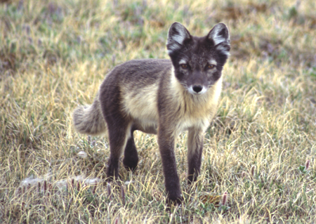 Tundra Arctic Fox In Summer ephsfoleybiomes...